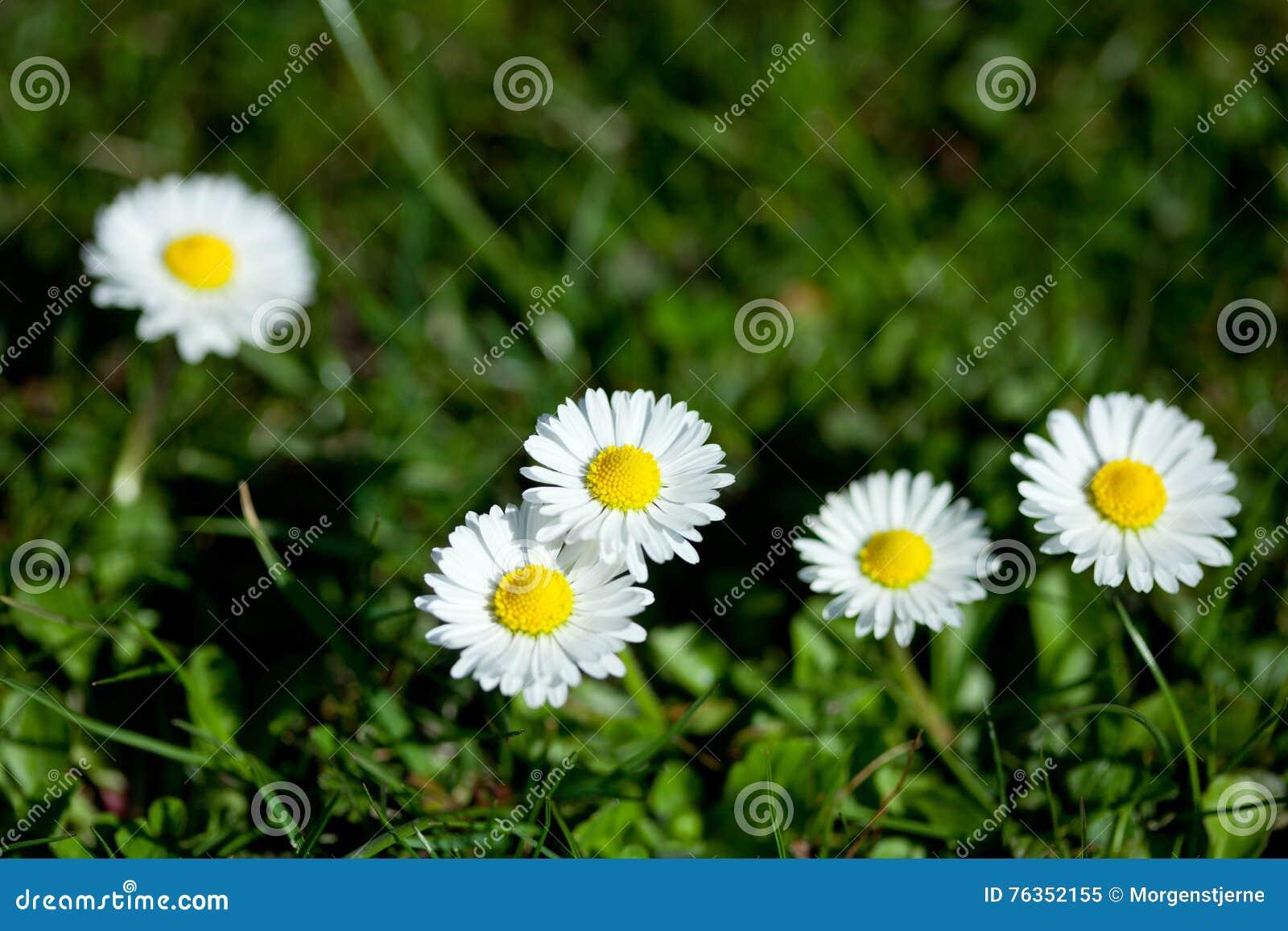 Marguerite kwiaty, mała stokrotka