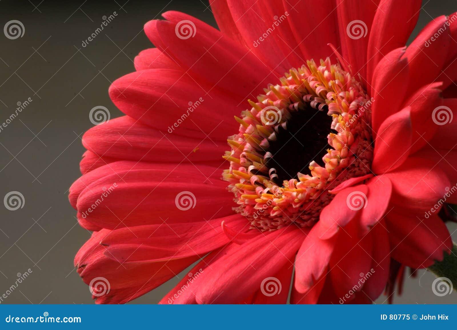 Marguerite rose de Gerbera