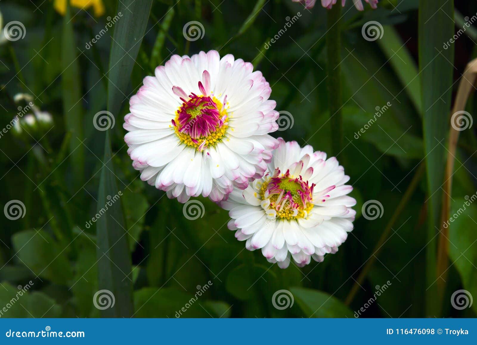 Marguerite stokrotki Bellis perennis kwiaty
