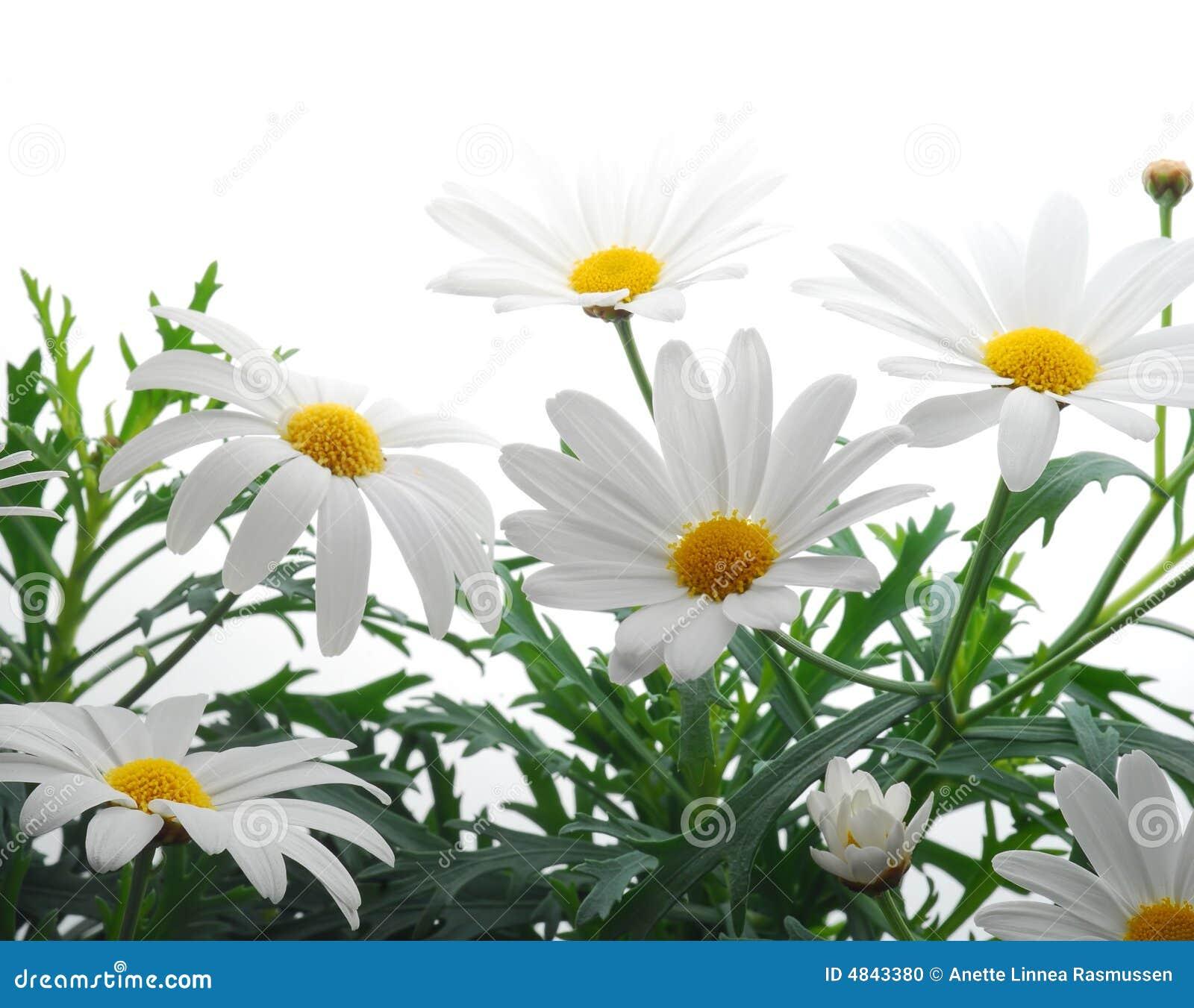 Marguerite wiosna