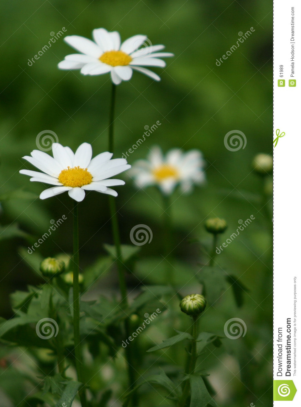 Download Marguerites image stock. Image du macro, herbe, fleur, orientation - 61989