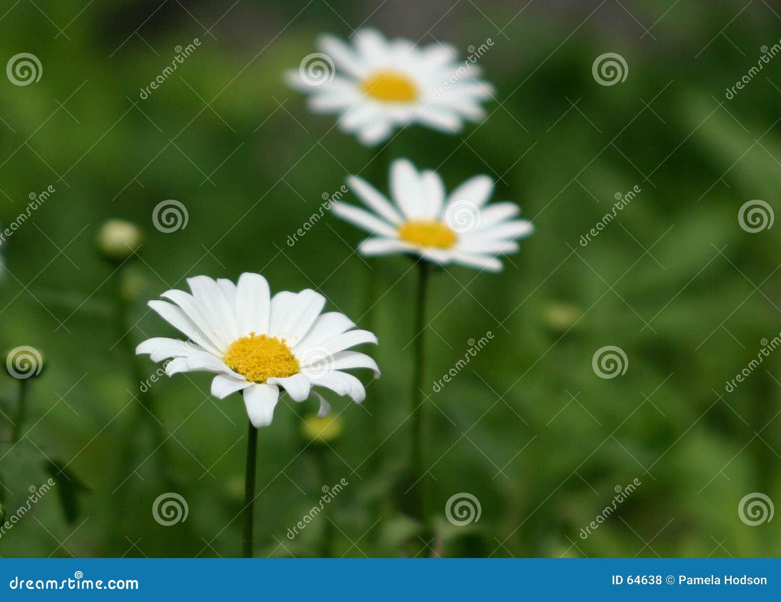 Download Marguerites photo stock. Image du éternel, fleur, herbe - 64638