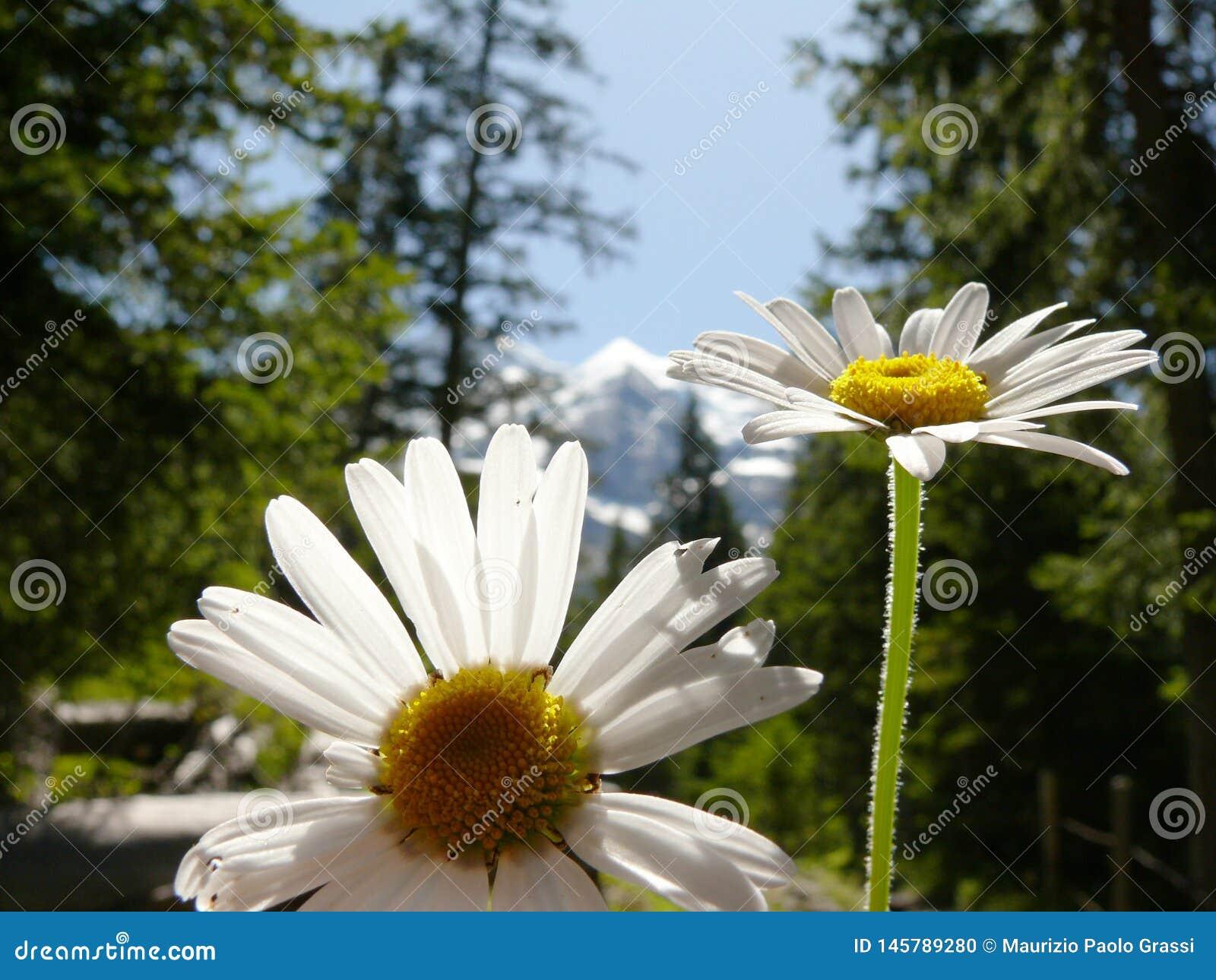 Marguerites en fleur avec le fond de montagnes
