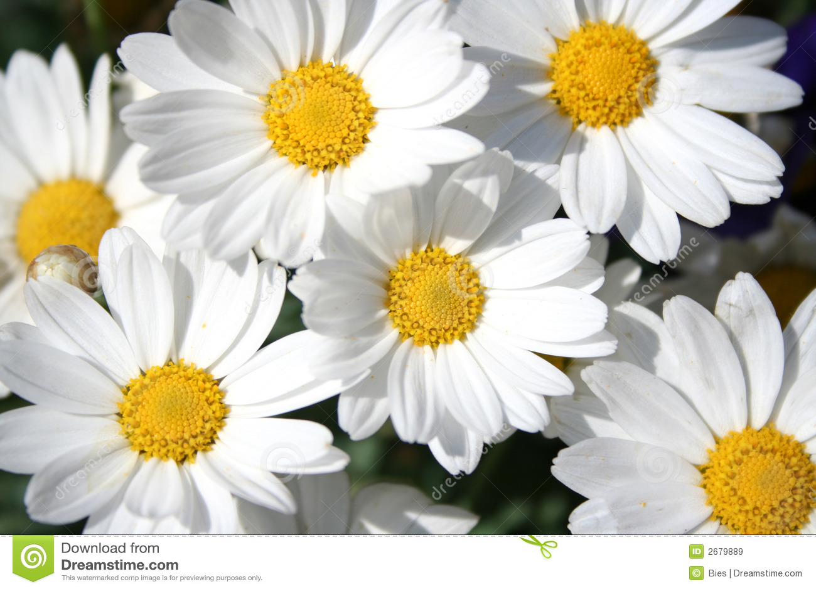 Marguerites heureuses
