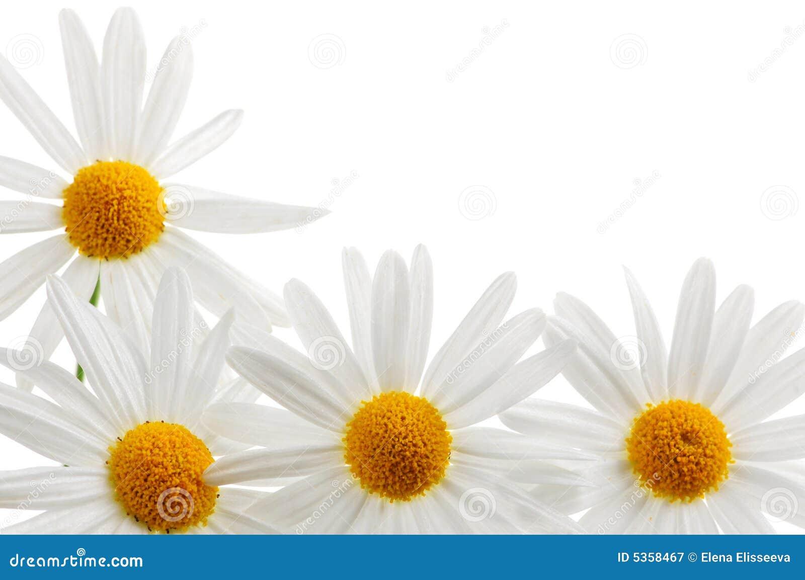 Marguerites sur le fond blanc
