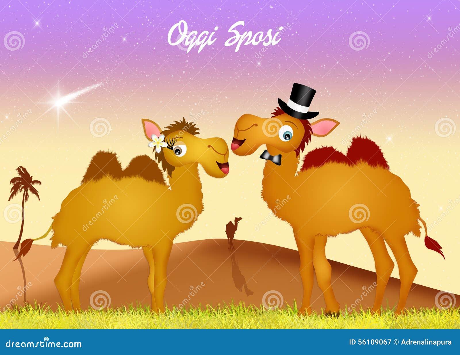 mariage des chameaux - Location De Chameau Pour Mariage