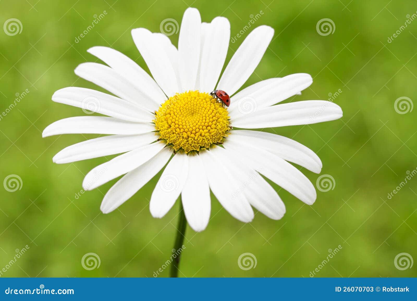 Marienkafer Auf Einem Ganseblumchen Stockbild Bild Von Schonheit Hell 26070703