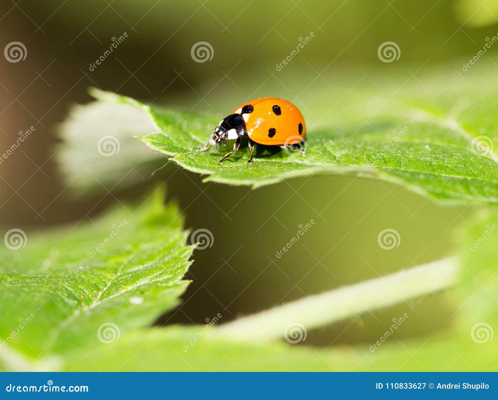 Marienkäfer auf einer Anlage in der Natur Makro