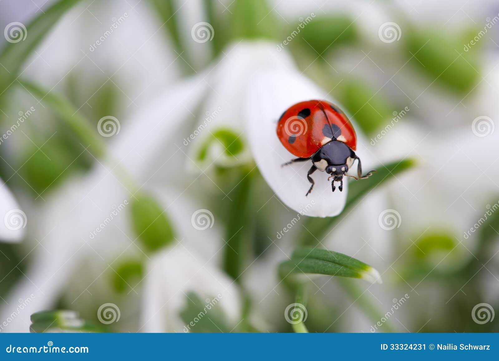 Marienkäfer Auf Schneeglöckchen Blumen Stockbild Bild Von Weiß