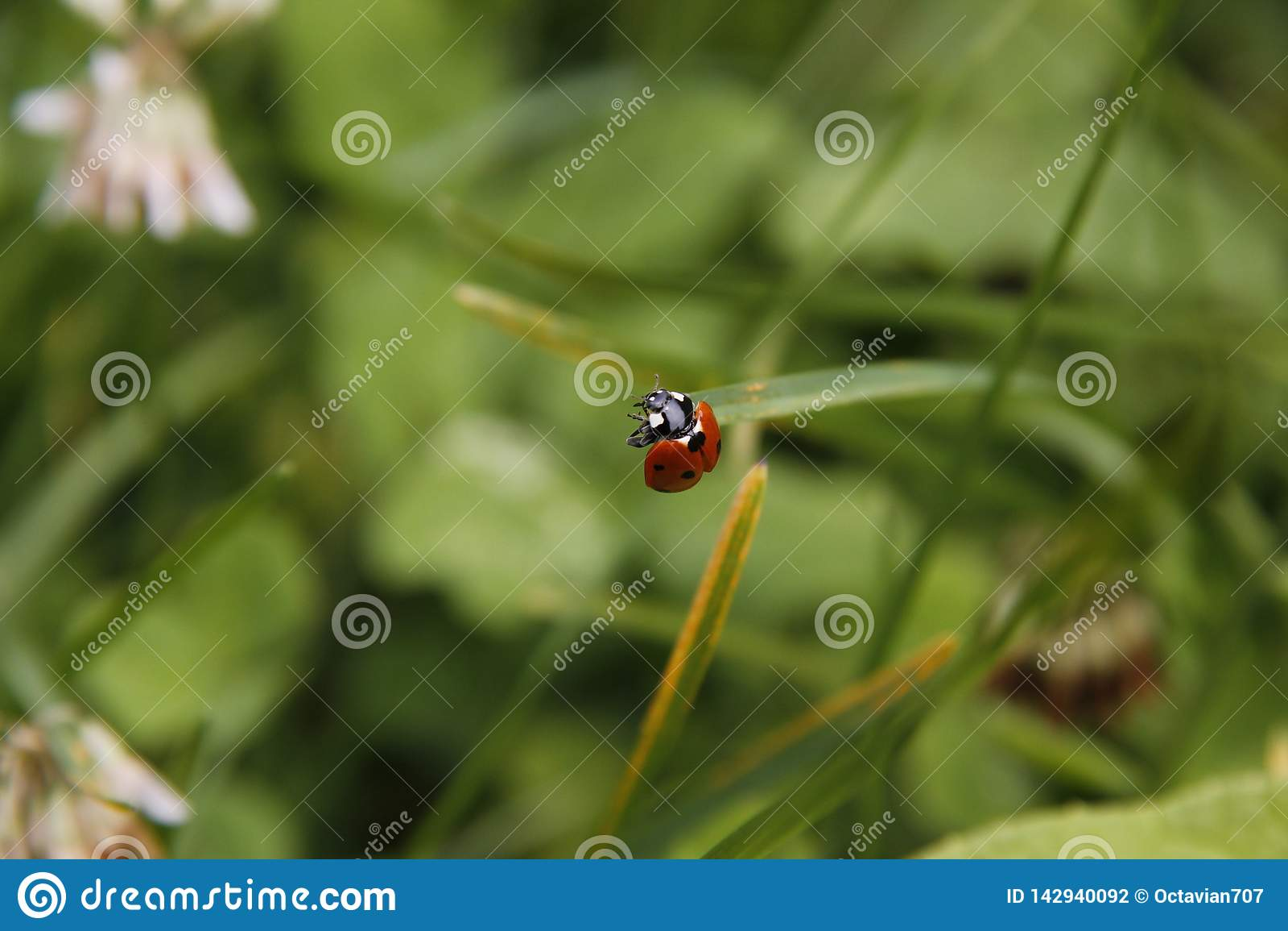 Marienkäfer in einem Garten im Sommer bereit zu fliegen