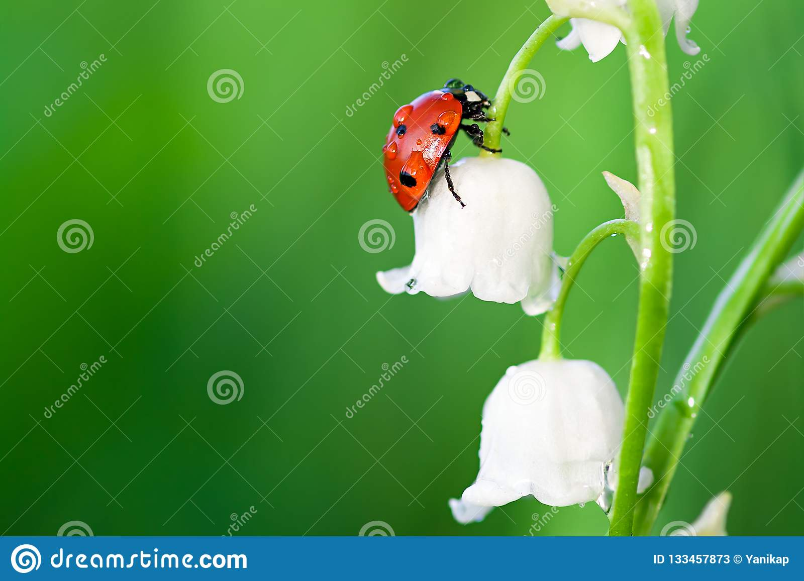 Marienkäfer Sitzt Auf Einer Blume Eines Maiglöckchens Stockbild
