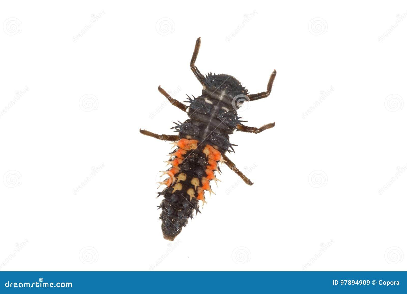 Marienkäferlarve Coccinella auf einem weißen Hintergrund
