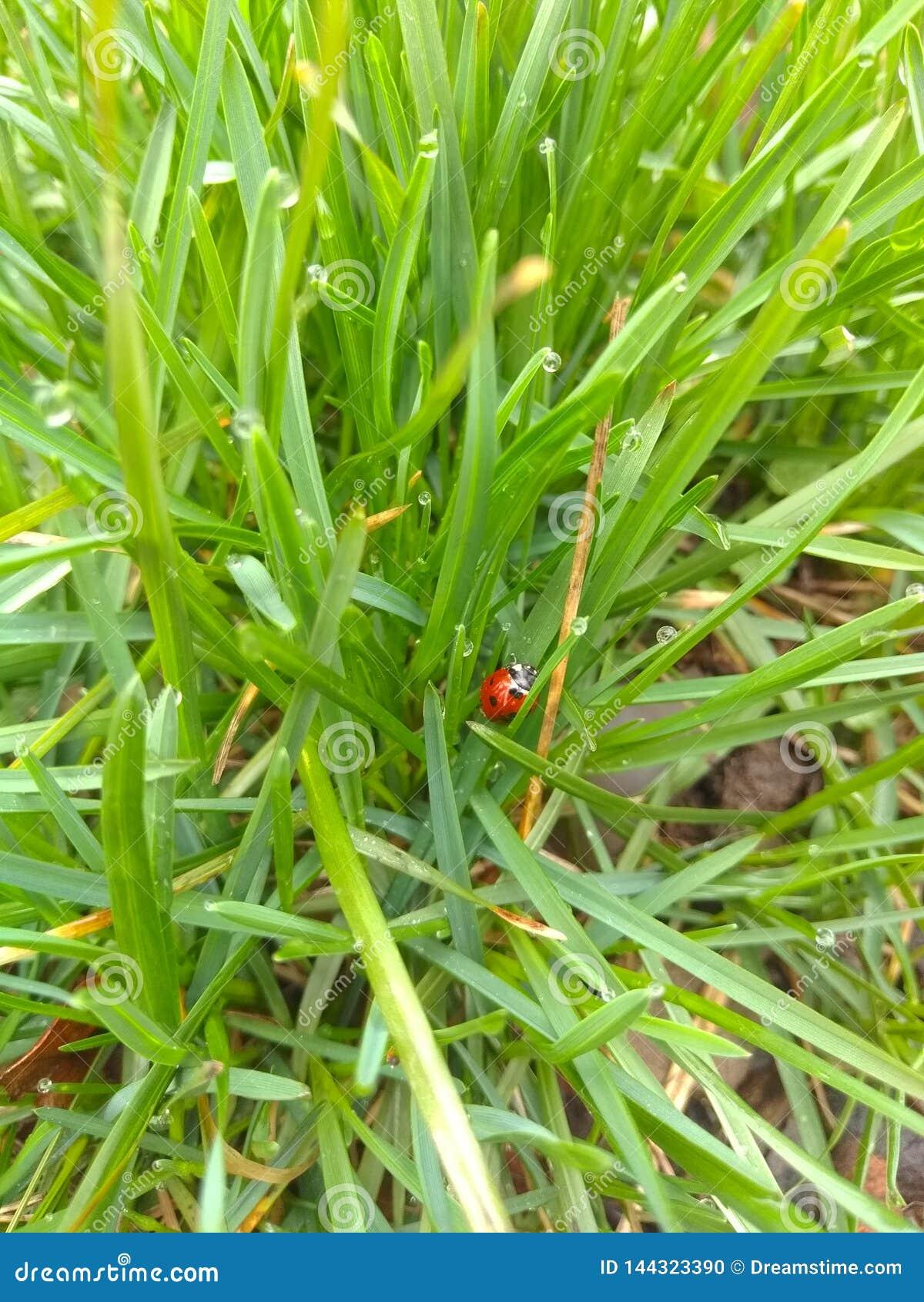 Marienk?fer auf dem Gras