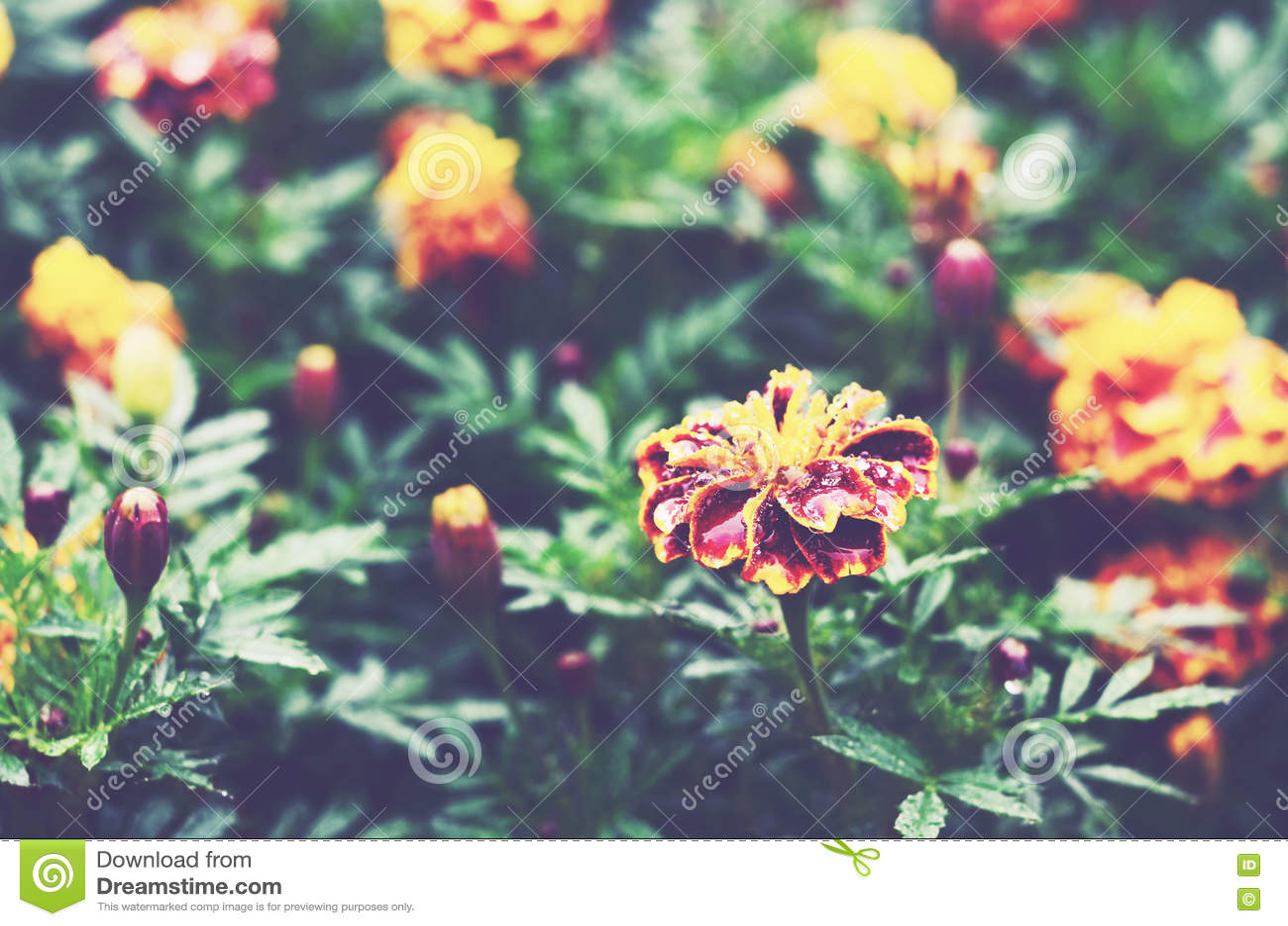 Marigold λουλούδια σε έναν κήπο μετά από τη βροχή