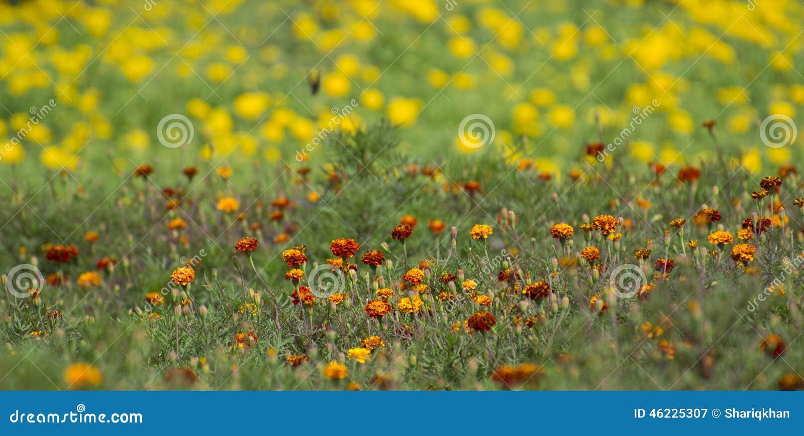 Marigold λουλούδια στον τομέα