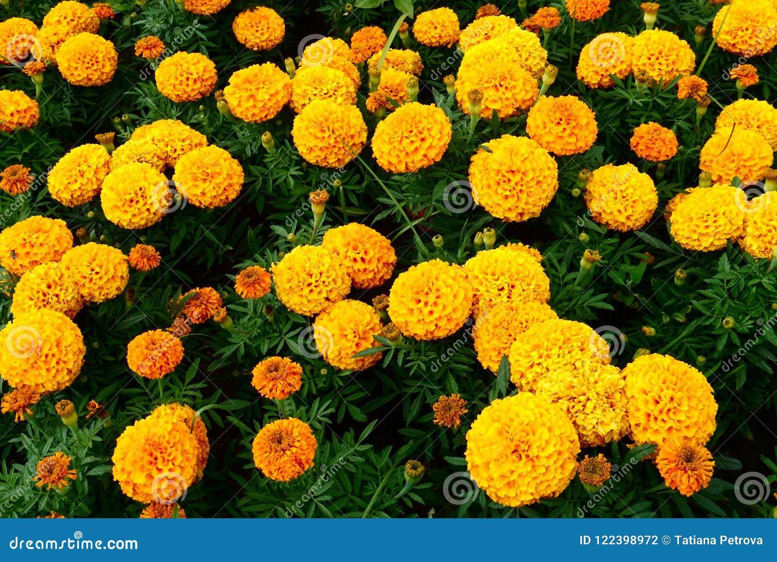 Marigold city flowers on summer yellow beautiful flowers nice day download marigold city flowers on summer yellow beautiful flowers nice day stock photo image izmirmasajfo