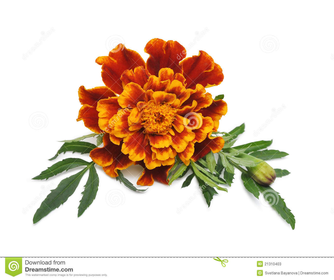 how to draw a marigold
