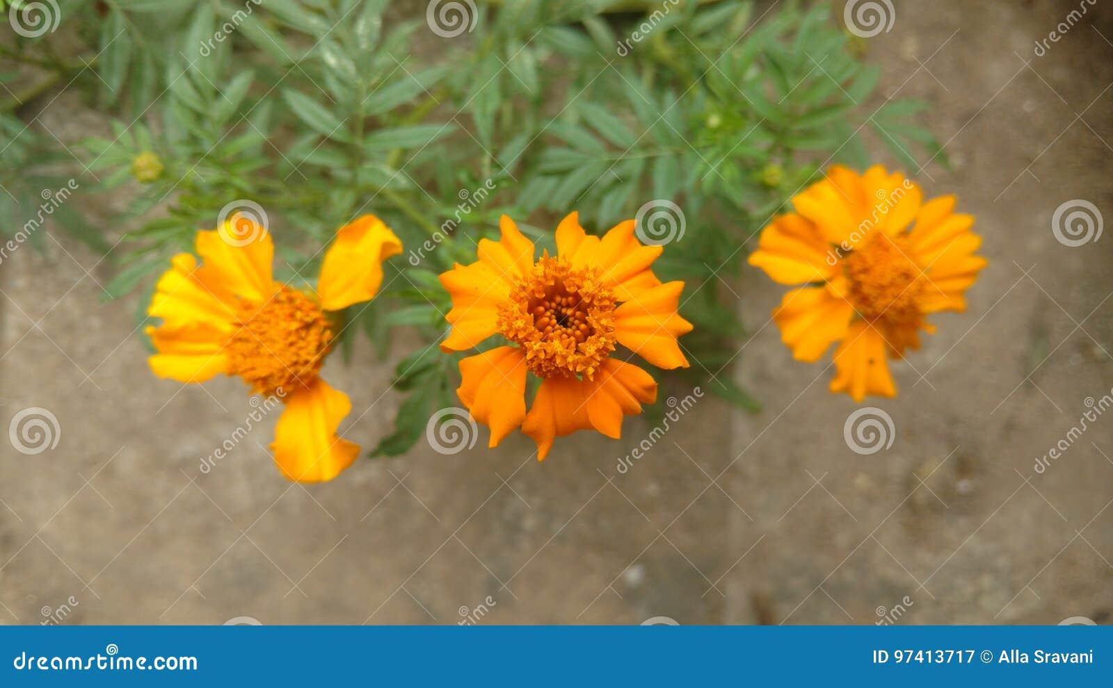 Marigold Flower Stock Image Image Of Orange Flower 97413717