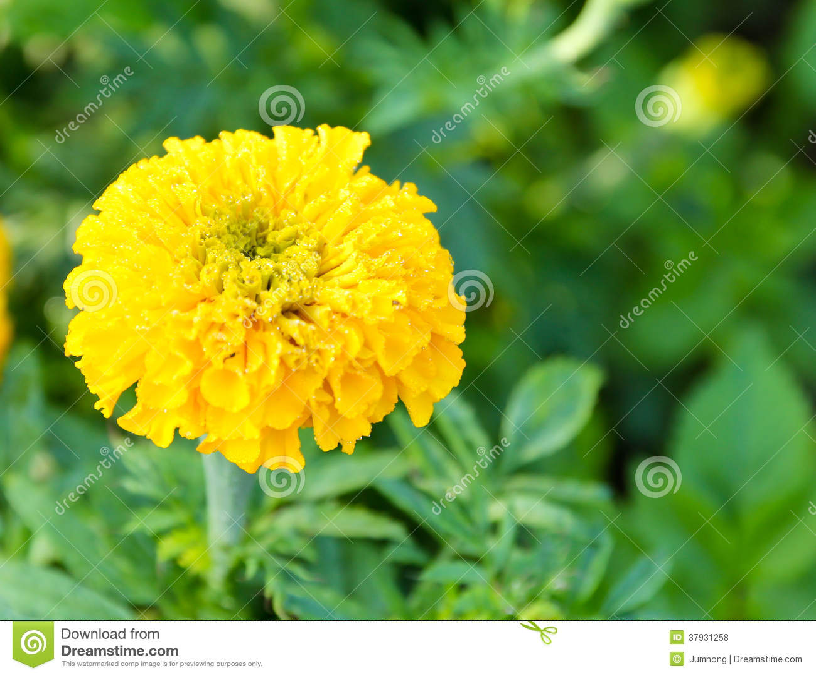 Marigold in the flower farm
