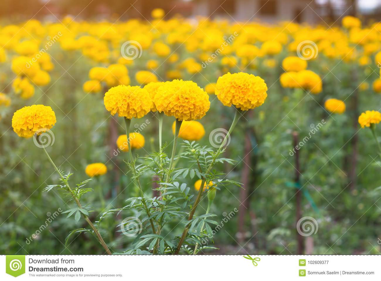 Marigold flower fieldspring season yellow flowersyellow flower download comp mightylinksfo