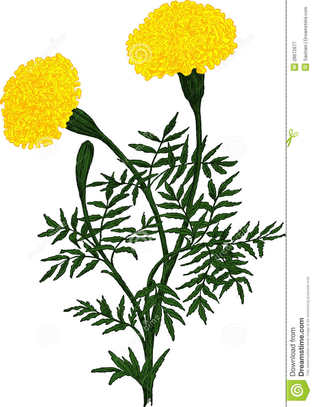 Yellow Marigold Flower Vector Stock Vector Illustration Of