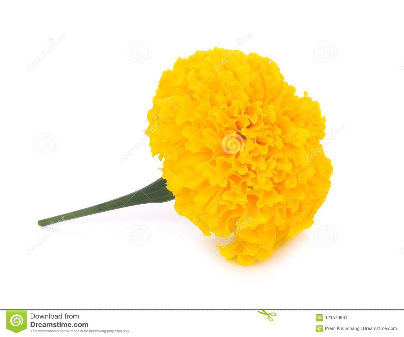 Marigold flowers on white background stock image image of green marigold flowers on white background mightylinksfo