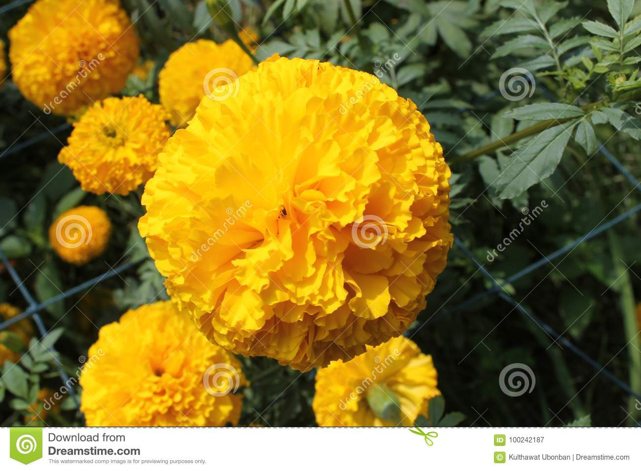 Marigold stock image image of beautiful blooming aztec 100242187 golden yellow flowers leaves a little bit lively a the winter marigold name that comes from the star sky guard dazzling shimmer mightylinksfo