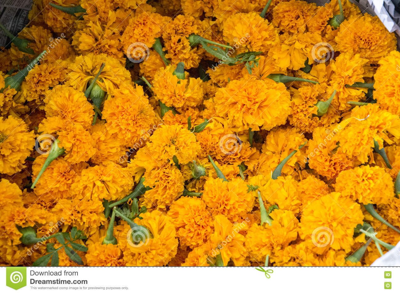 0b62c2e1b51 Marigold Heads For Sale Used For Hindu Puja/holy Ceremonies Stock ...