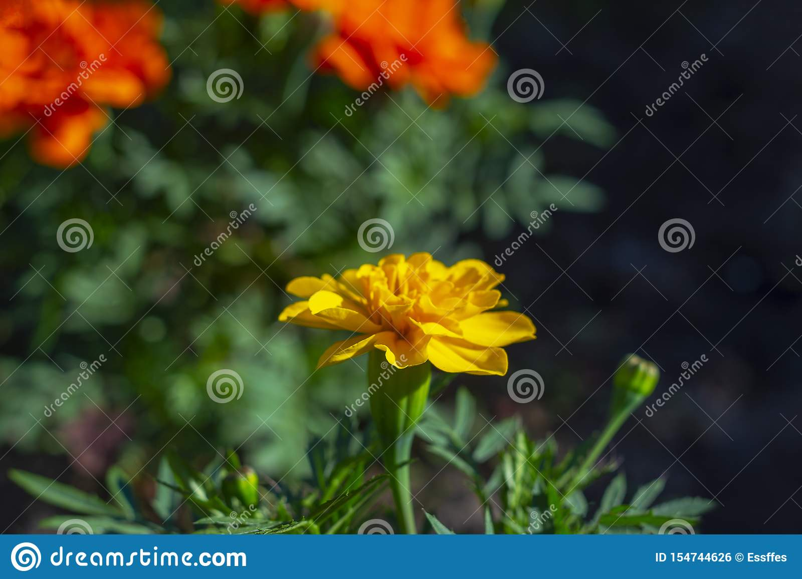 Marigold orange flower on a flowerbed against a background of other red flowers and green vegetation on the street.