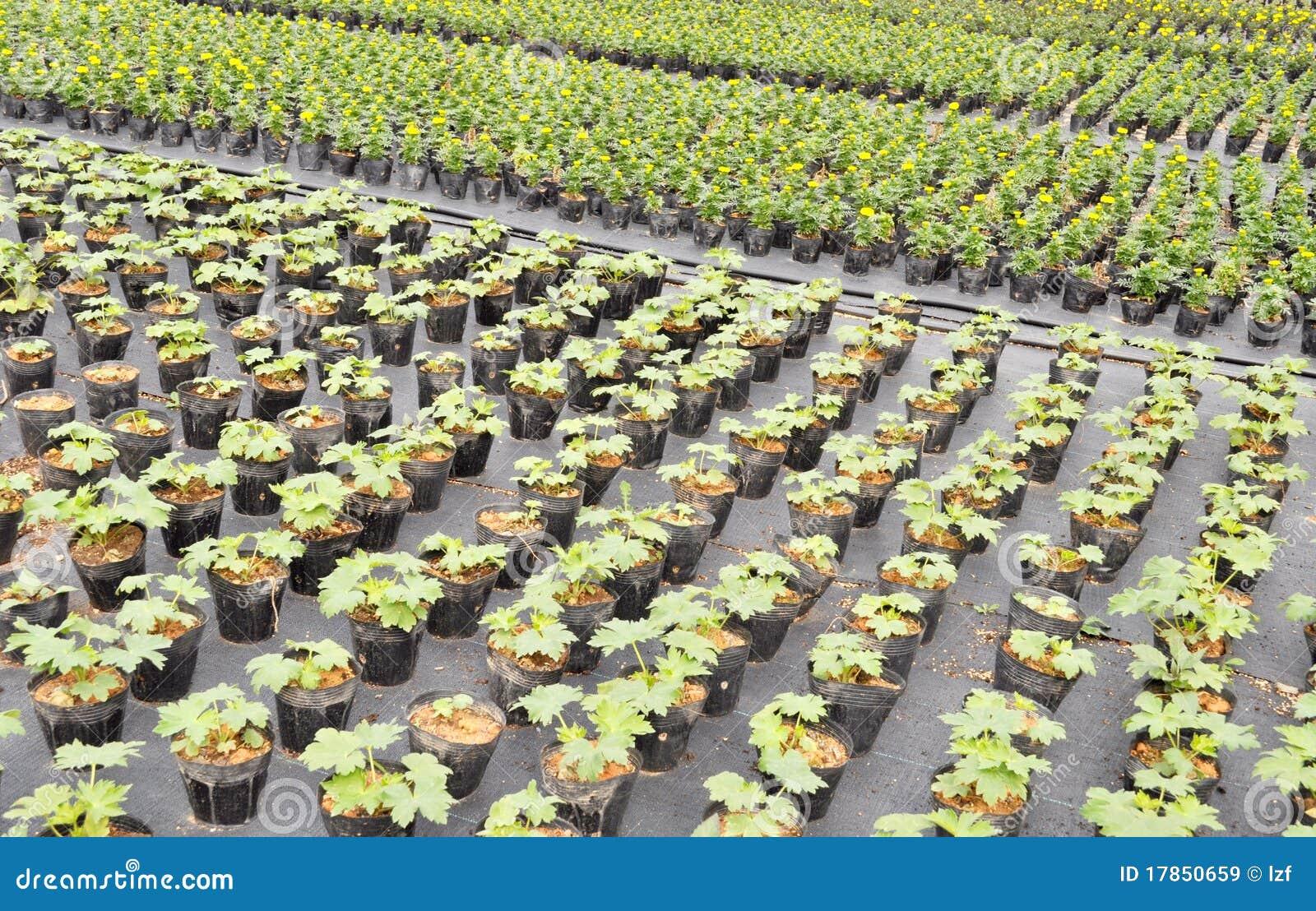 Marigold Seedling Stock Image Image Of Line Farm Garden 17850659