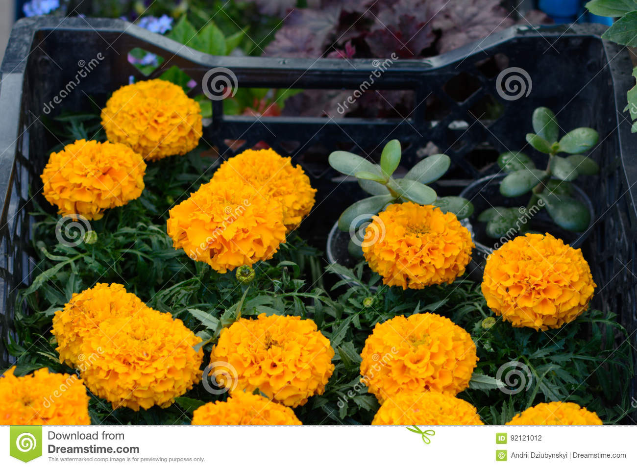 a9335c158ac Marigold Seedlings In A Box For Sale On The Market Stock Photo ...