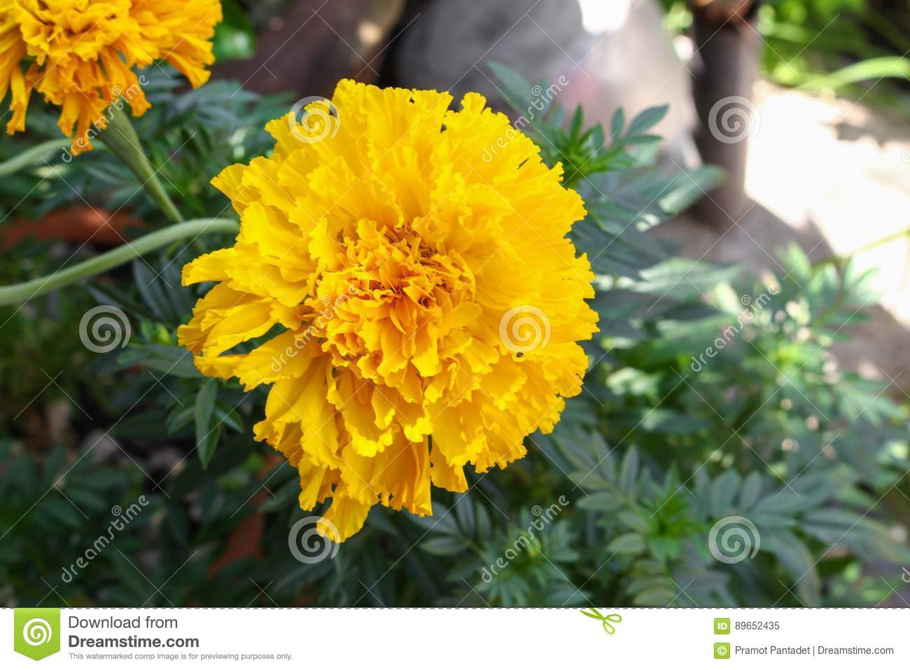 Marigold Yellow Flowers Beautiful In The Garden Stock Image Image
