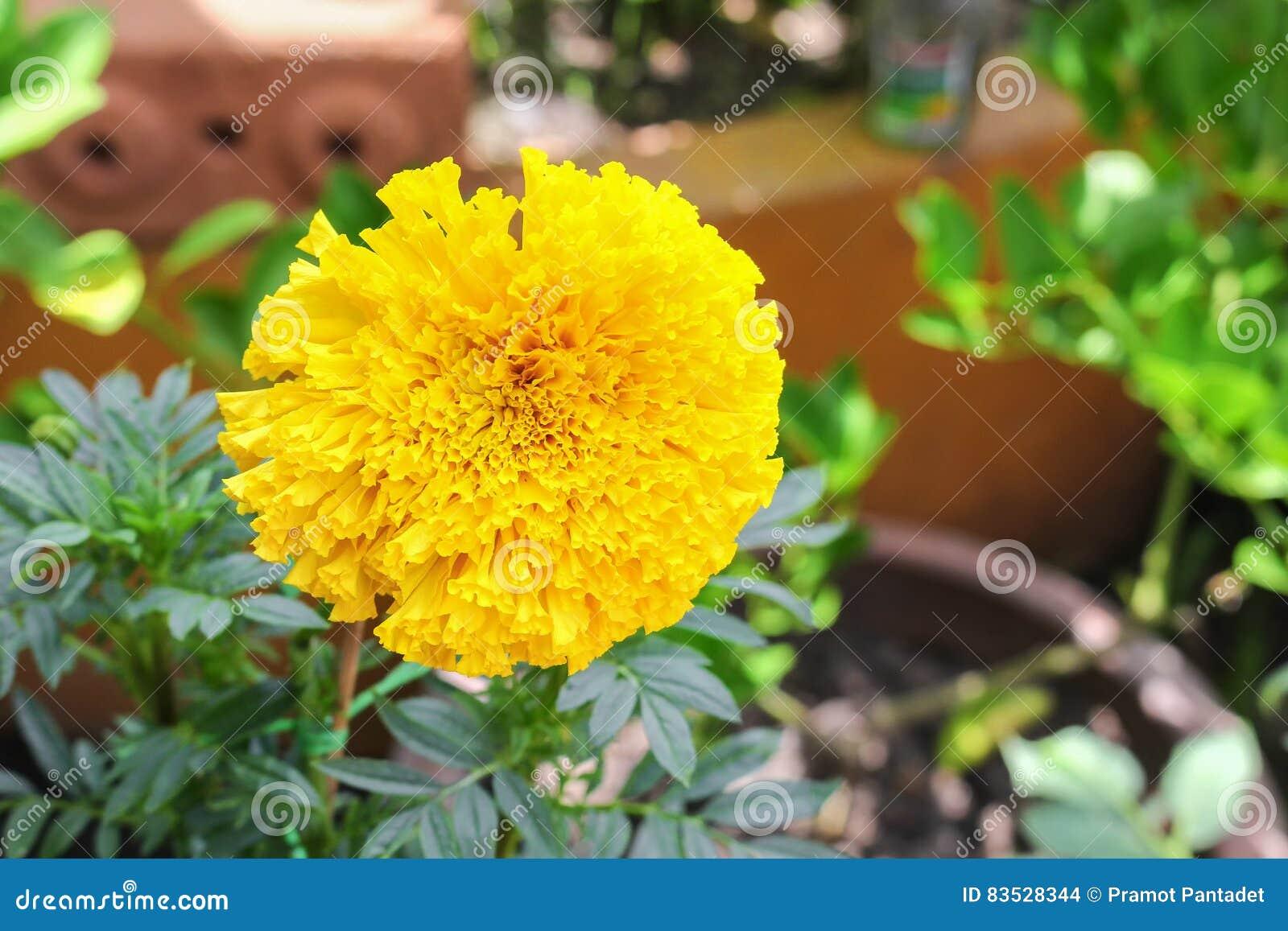 Marigold yellow flowers beautiful marigold india flower stock photo download marigold yellow flowers beautiful marigold india flower stock photo image of flower mightylinksfo