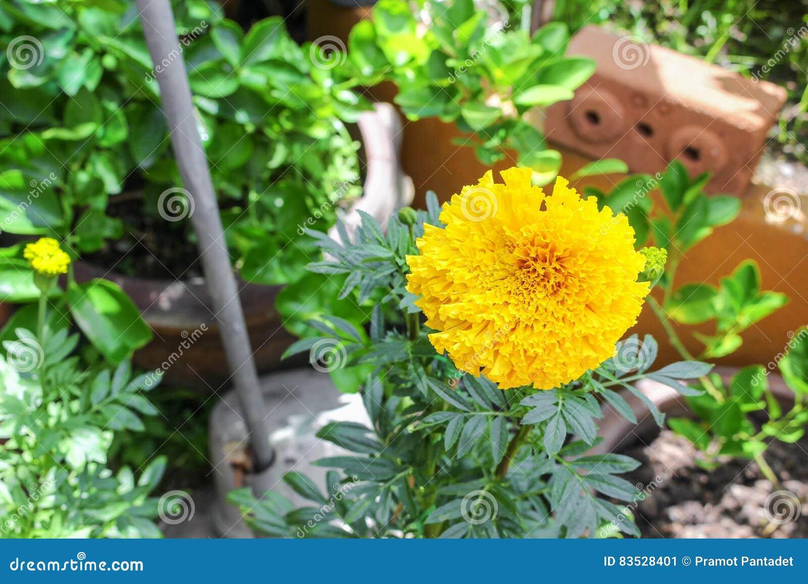 Marigold yellow flowers beautiful marigold india flower stock image download marigold yellow flowers beautiful marigold india flower stock image image of colorful mightylinksfo