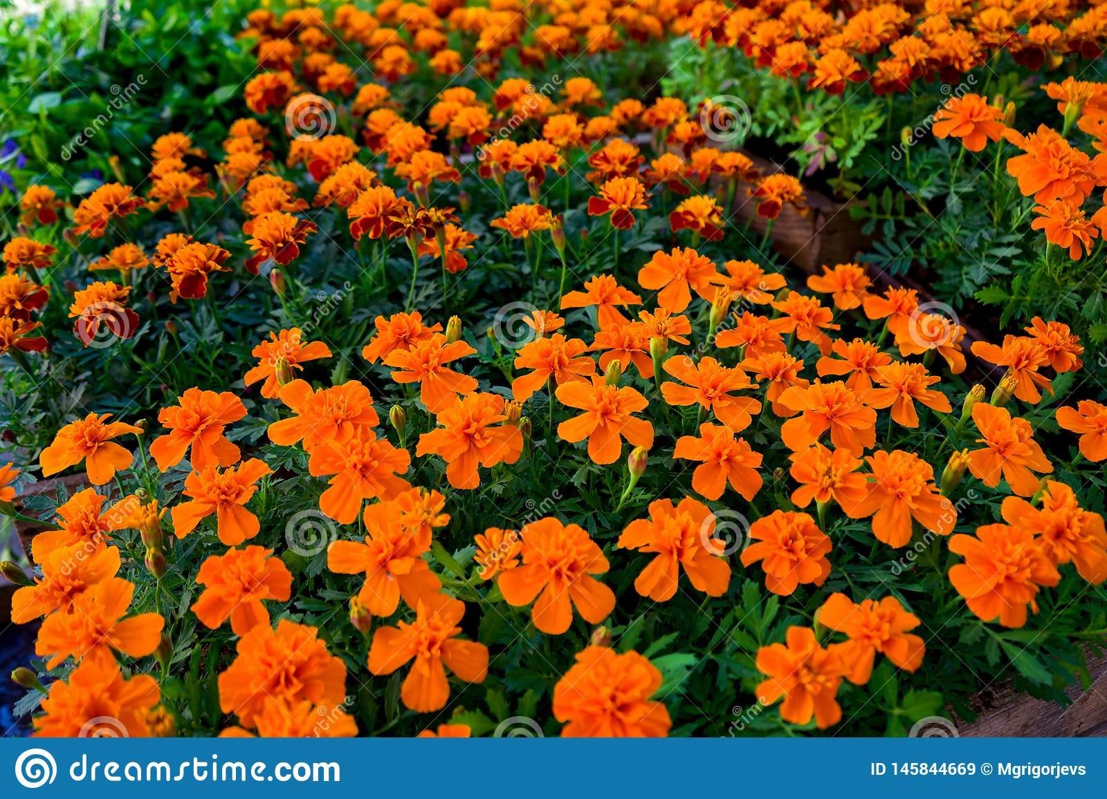 Marigold yellow and orange flowers in pots for sale on garden market display.