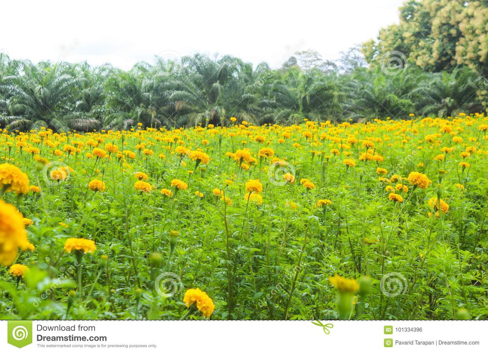 Marigolds κίτρινα λιβάδια άνθισης