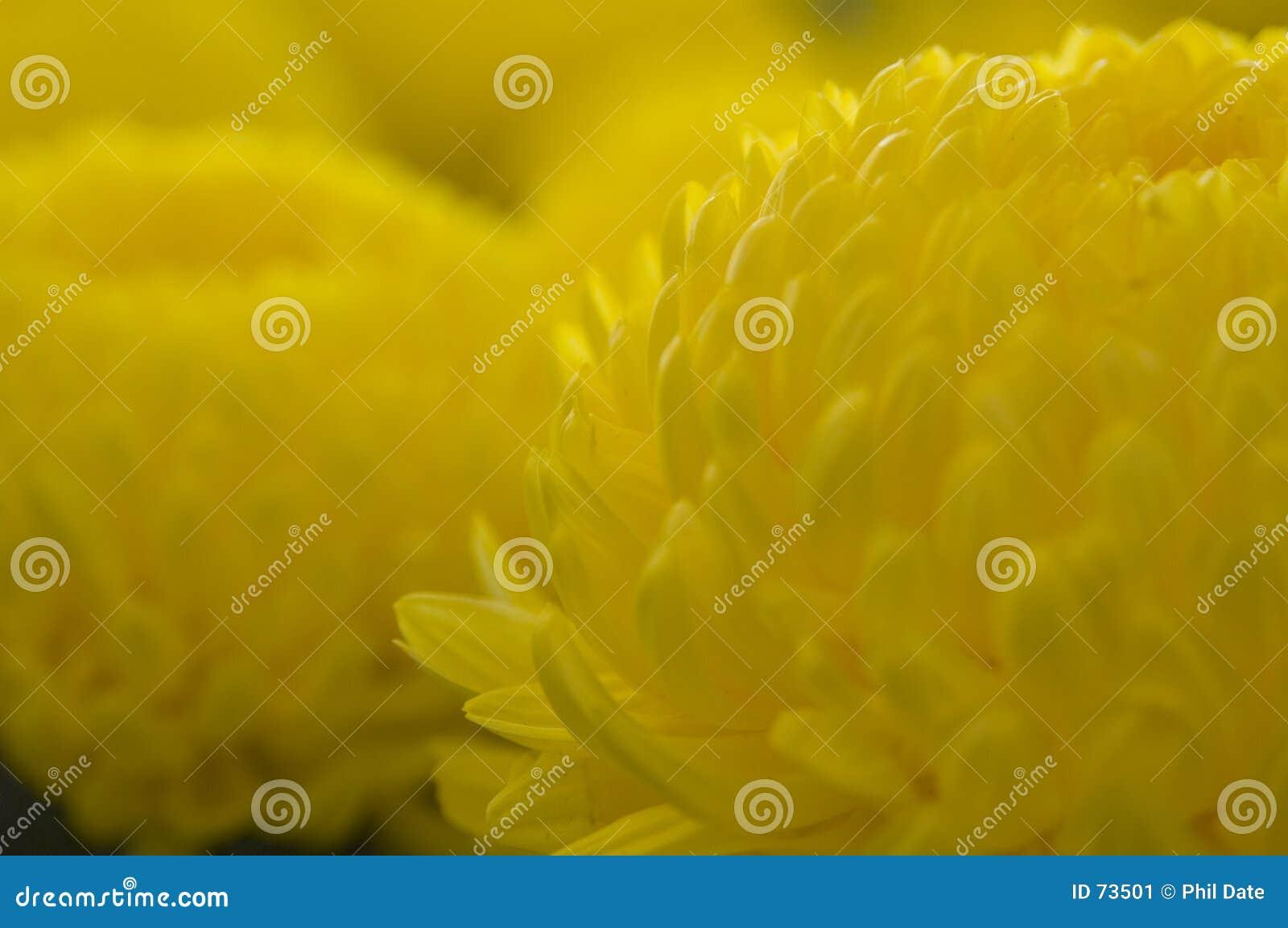 Marigolds κίτρινα