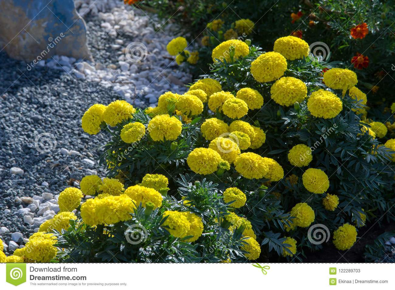 Marigolds Flowers A Plant Of The Daisy Family Typically With Y