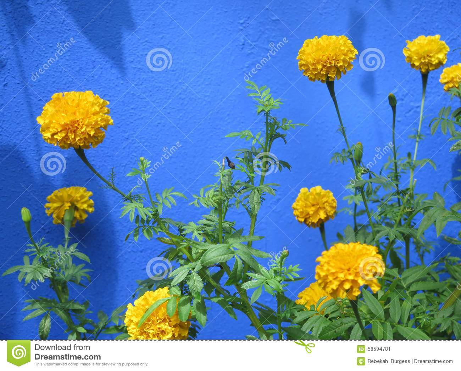Marigolds Stock Image Image Of Gardening Bloom Wall 58594781