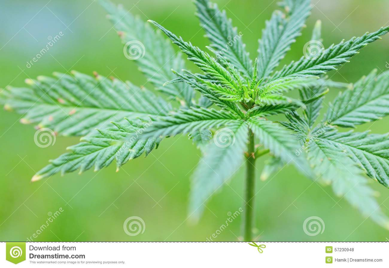 Marihuana (Cannabis) installatie