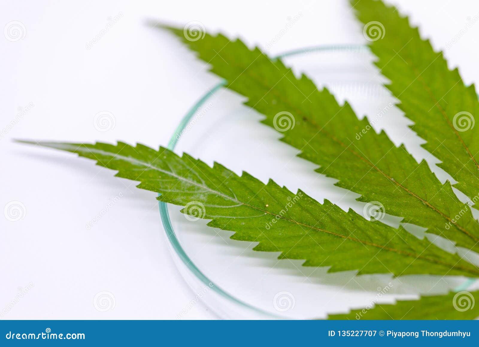 Marihuana Narkotyzuje, analiza marihuana w laboratorium