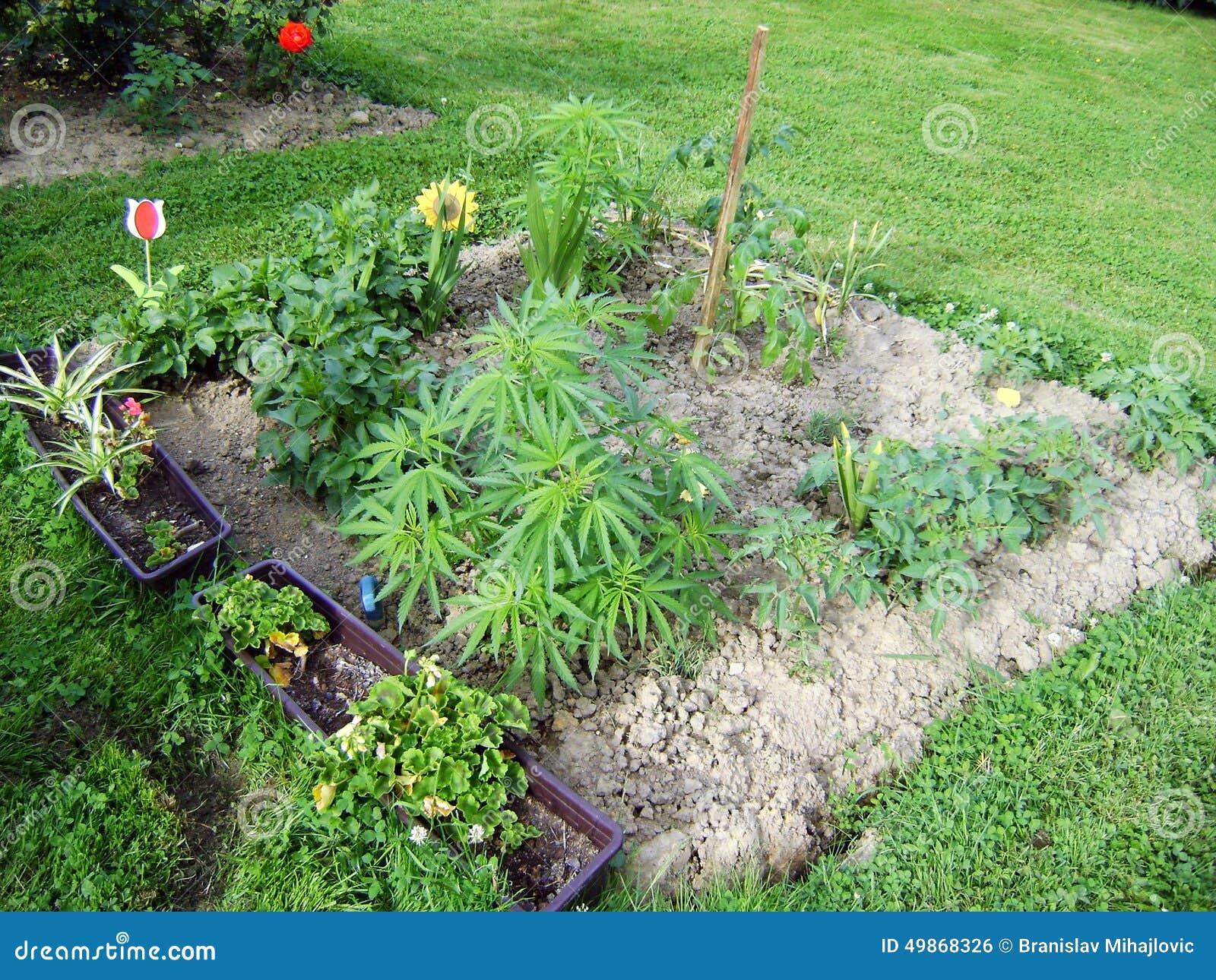 Marihuana w ogródzie