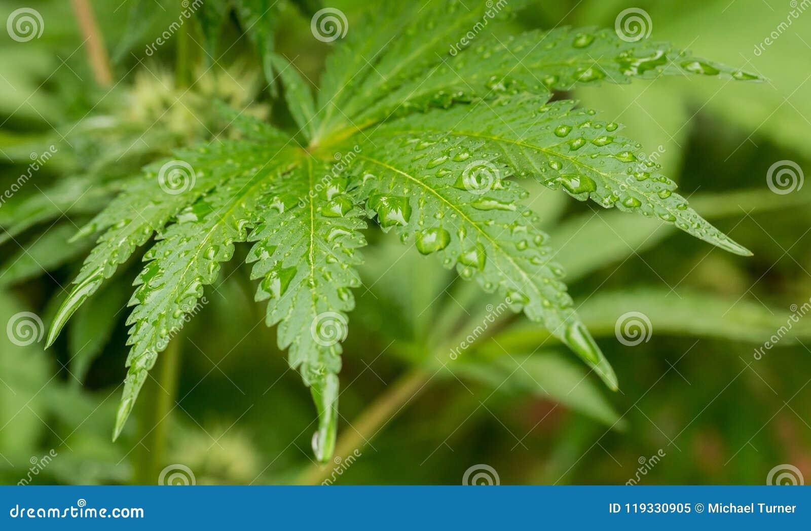 Marihuany marihuany krajowy medyczny liść