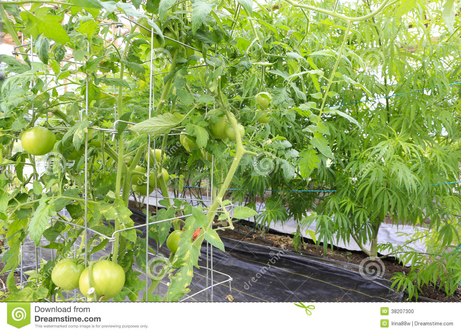 Marijuana ( cannabis), hemp plant growing inside of the green ho