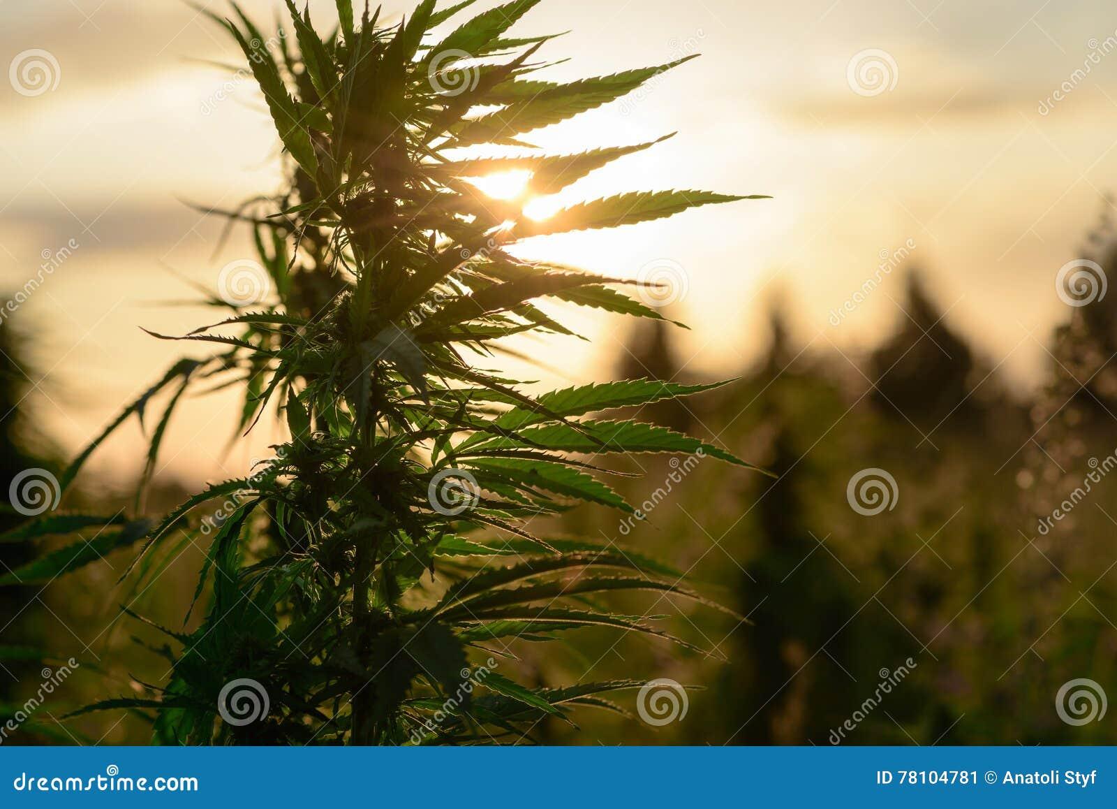 Marijuana crescente nel campo