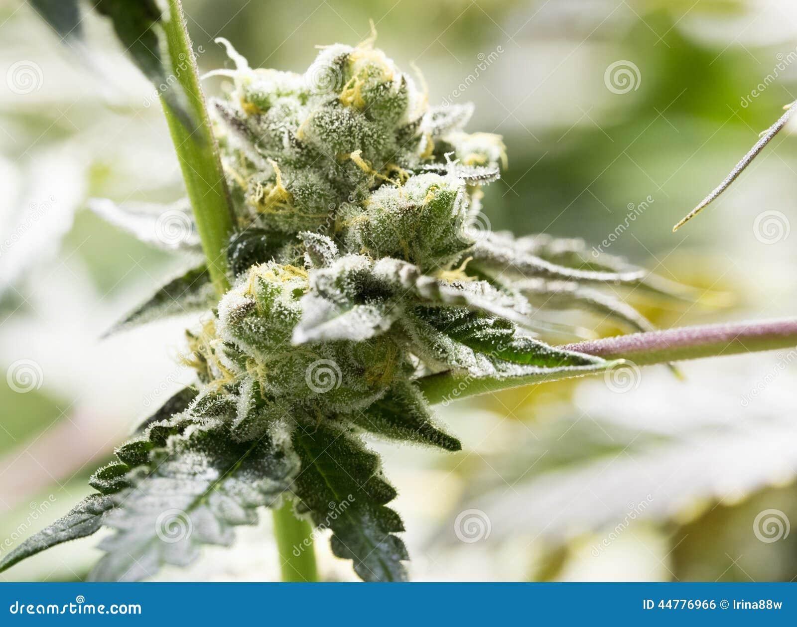 Marijuana flower buds.