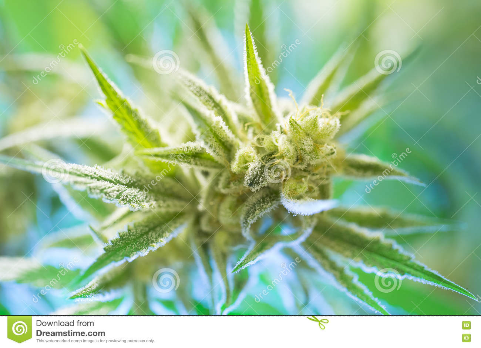 Marijuana flowering buds cannabis, hemp plant. Very large indoor weed harvest.