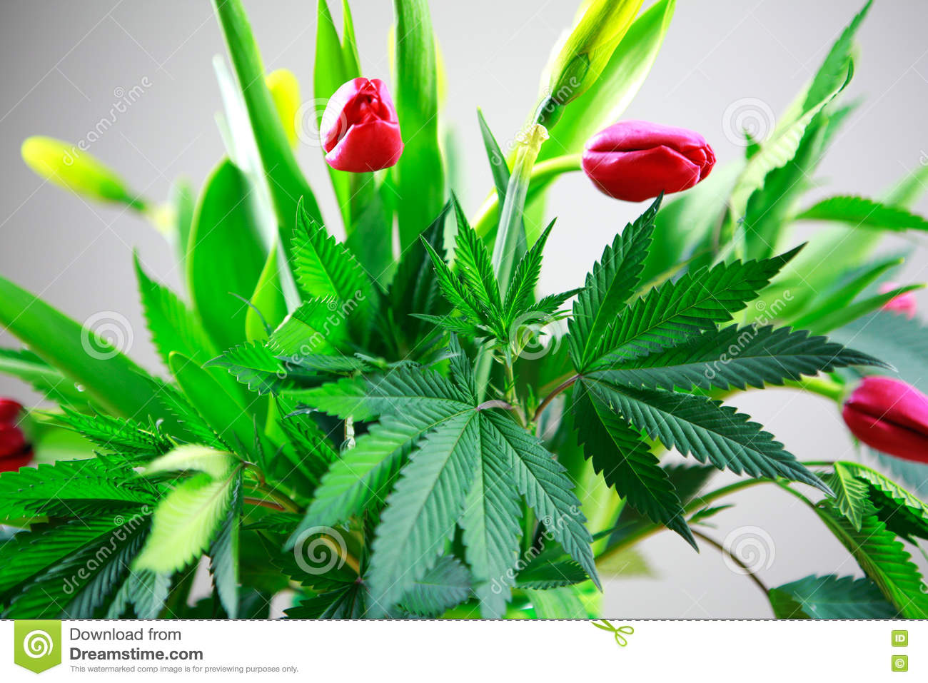 Marijuana green fresh large leafs ( cannabis), hemp plant in a nice spring flower bouquet with pink tulips.