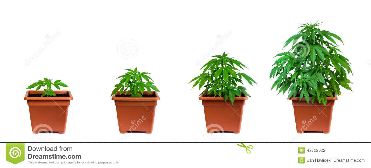 Marijuana growing phase