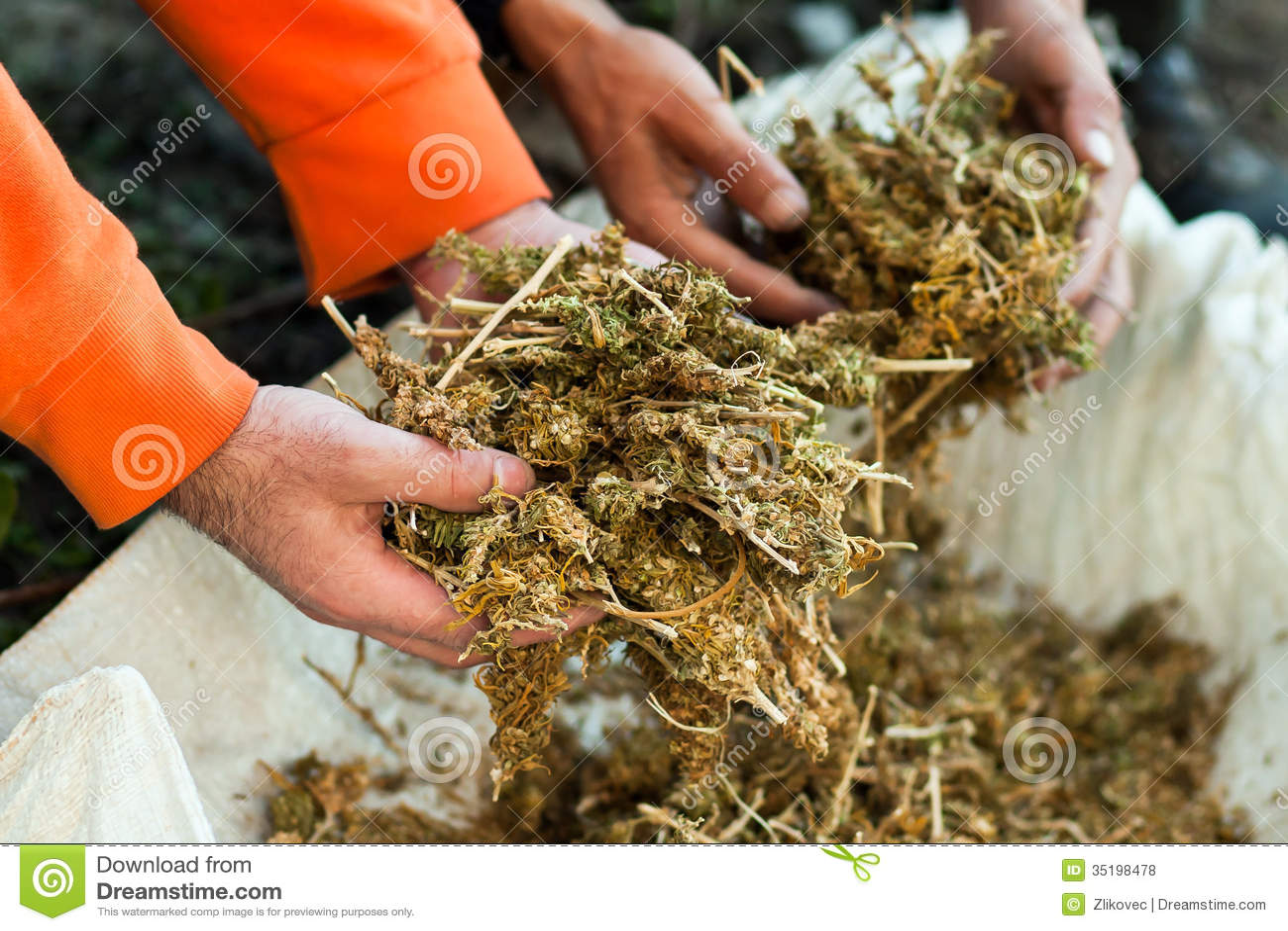 marijuana stock photo image of sorting  separation  leaf marijuana leaf vector silhouette free marijuana leaf vector hd